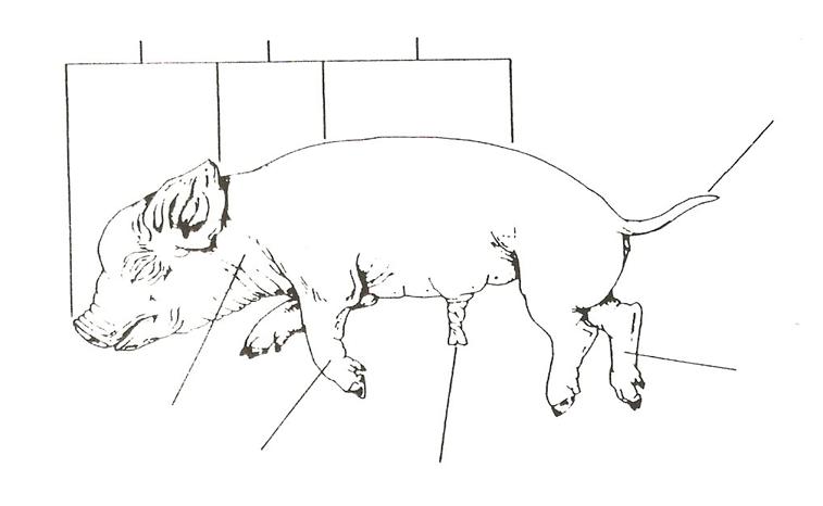 albionapbiology fetal pig dissection pre lab. Black Bedroom Furniture Sets. Home Design Ideas