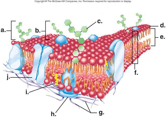 albionapbiology cell membrane quiz 1